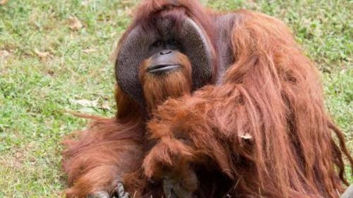 资料图片:会用手语沟通的公猩猩夏特克。(图片来源:路透社)