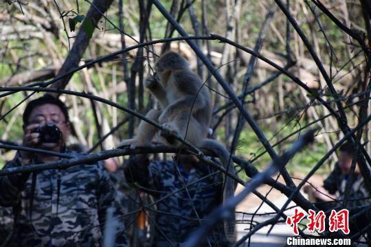 海外华文媒体代表与金丝猴亲密互动 马芙蓉 摄
