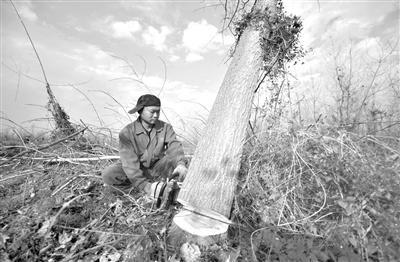 2017年11月27日,位于湖南沅江市的南洞庭湖自然保护区核心区内,一名工作人员在清理欧美黑杨。 记者 李尕 摄