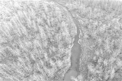 图为2017年11月27日,位于湖南沅江市的南洞庭湖自然保护区核心区内一大片等待清理的欧美黑杨林。记者 李尕 摄