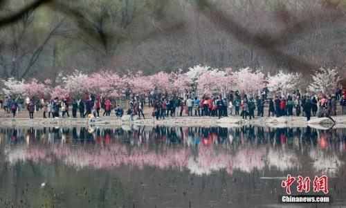 北京玉渊潭公园早樱绽放吸引游客观赏。中新社记者 杜洋 摄