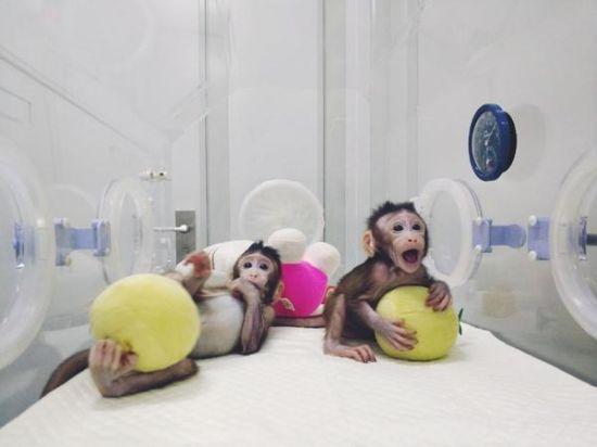 """图为体细胞克隆猴""""中中""""和""""华华"""" 中科院供图"""