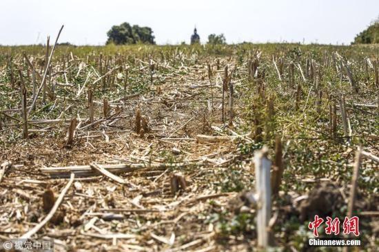 今年的干旱和热浪灾害导致北欧大片地区庄稼受到损害,热浪的伤害也波及了英国、波兰和斯堪的纳维亚。据德国一个农业协会称,由于农作物收成因干旱和热浪而受损,德国农民需要获得大约10亿欧元的特殊援助。图为勃兰登堡州的旱地。 图片来源:视觉中国