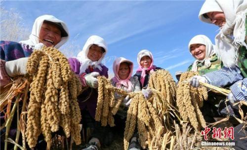 资料图:2017年10月13日,位于祁连山下甘肃张掖小米种植专业合作社的农户正在忙碌着收割成熟的绿色有机无公害谷子。王将 摄