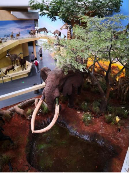 武汉自然博物馆。贝林大河生命馆镇馆之宝――非洲草原象标本