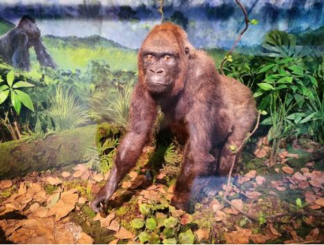 武汉自然博物馆。贝林大河生命馆镇馆之宝――中国唯一的一只西非低地大猩猩标本