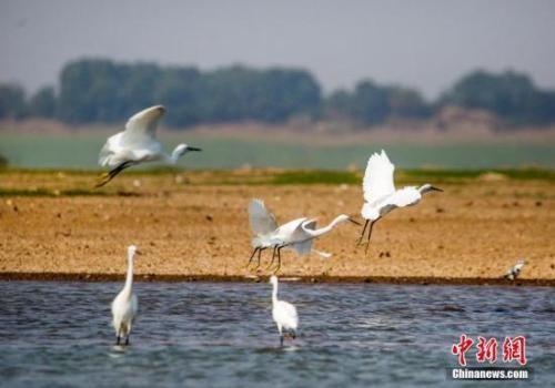 资料图:10月4日,在江西鄱阳湖都昌马影湖水域拍摄的白鹭。中新社发 傅建斌 摄