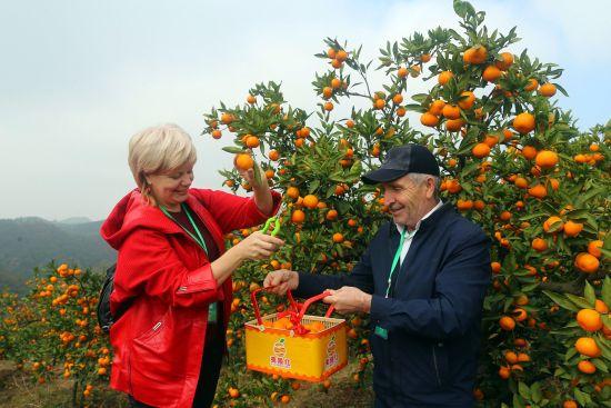 客商在宜昌市夷陵区官庄村生态果园体验柑橘采摘 李重庆 摄