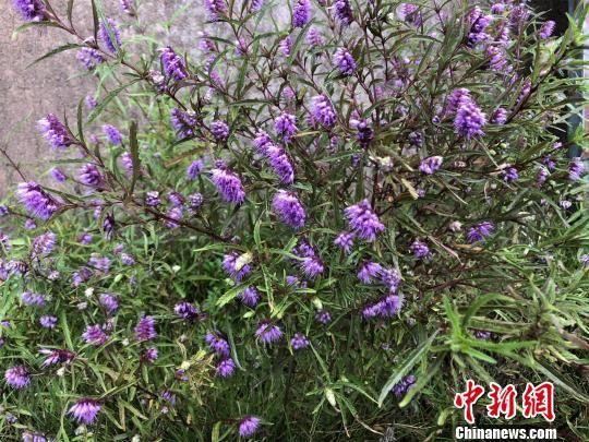 大片紫红色、酷似牙刷形状的花正值盛放 梁婷 摄
