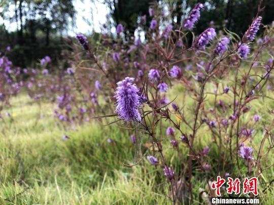 """铜草花是""""喜铜""""植物,能比较准确地显示铜矿所在地 梁婷 摄"""