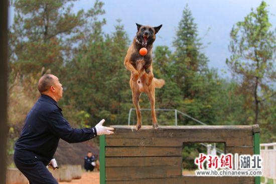 """警犬训导员熊克霜和""""路遥"""""""
