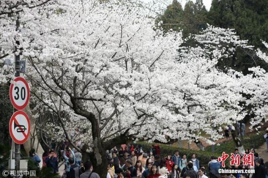 3月21日,武汉大学樱花季首日,提前网上预约赏樱的八方游客如约而至。吴薇 摄 图片来源:视觉中国