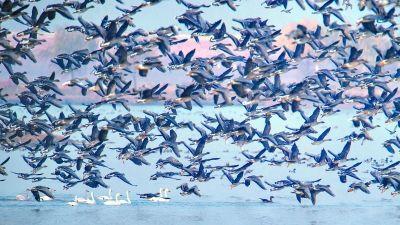 府河湿地的候鸟群