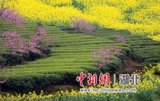 油菜花中春茶绿