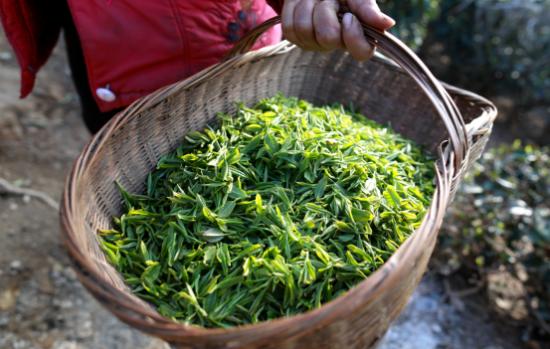 采摘的新鲜芽茶