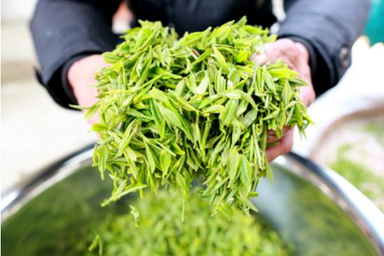 菜农将采摘到的新鲜茶叶分类挑选