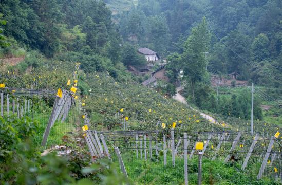青湾村的猕猴桃基地