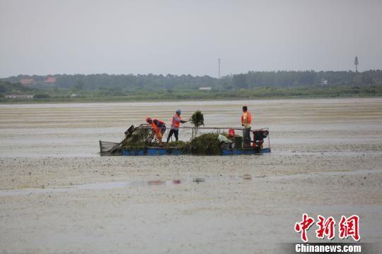 打捞人员正在清理野菱及浮在水面的枯草断枝 钟欣 摄