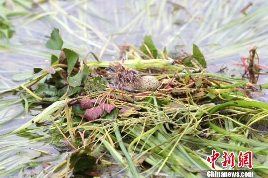 野菱等浮叶植物是很多水鸟赖以生存的栖息地 钟欣 摄