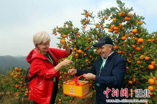 游客体验柑橘采摘 李重庆摄