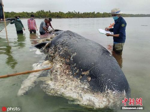 资料图:印尼Kapota岛海域发现一头9.5米长的抹香鲸尸体,据当地环境与林业部消息,这头抹香鲸的肚子中发现了大约5.9公斤的塑料垃圾。