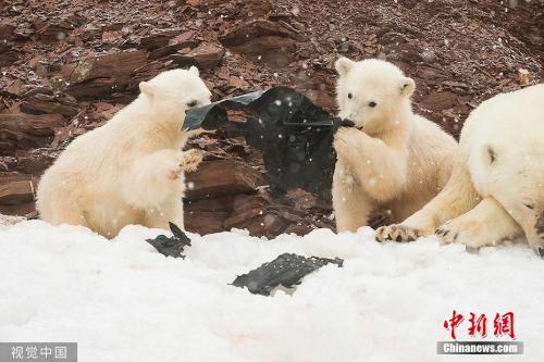 资料图:挪威斯瓦巴特群岛,北极熊正在玩弄塑料垃圾。岛上的塑料垃圾和塑料制品逐渐增多,多方面影响了当地的的生态环境和物种。 图片来源:视觉中国