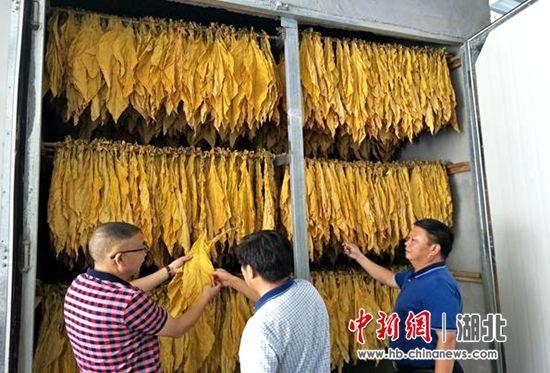 村集体发展的50亩烟叶