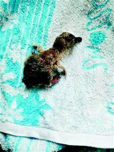 图为刚出生的小企鹅只有拳头大小