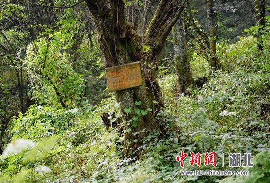 湖北保康发现野生樱桃古树群落