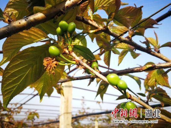 七彩龙珠水果家产 示范园内樱桃挂果 摄影者 王志明