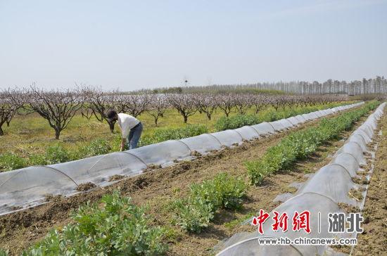 新沟镇街二大队农户在整理瓜田 宋亮摄