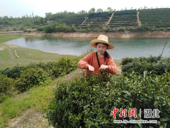 周靈同學在茶園采摘茶葉
