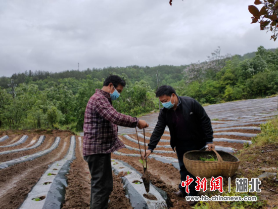 图为县公司党组书记、经理苏兆俊在马鹿岩村帮贫困户王乐福移栽烟叶。周立羽 摄