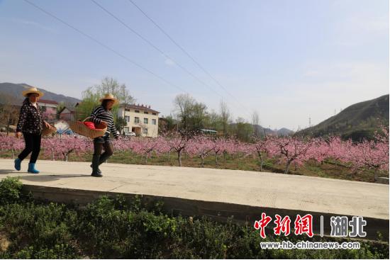图为邹家院村已初步建成的果园,花开满园。杨秀娟 摄