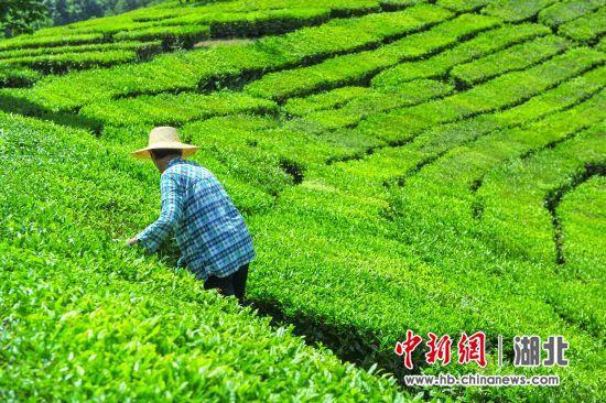 """""""2020国际茶日""""宜昌活动5月21日开启"""