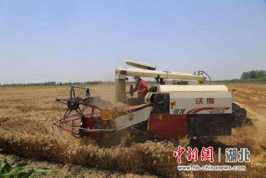 6000台收割机显身手 钟祥市小麦收割超八成