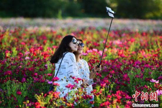 资料图:图为游客在格桑花花海拍照游玩。 王斌银 摄