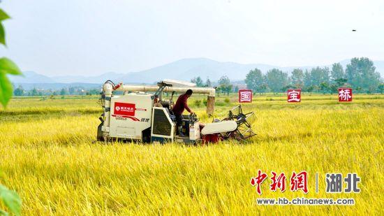 湖北全产业链大米企业国宝桥米迎来疫后丰收
