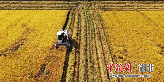 江城中晚稻长势良好 粮食企业敞开收购农民余粮