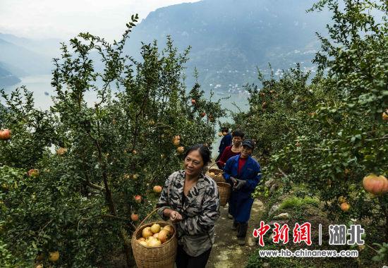湖北秭归:长江村里石榴红