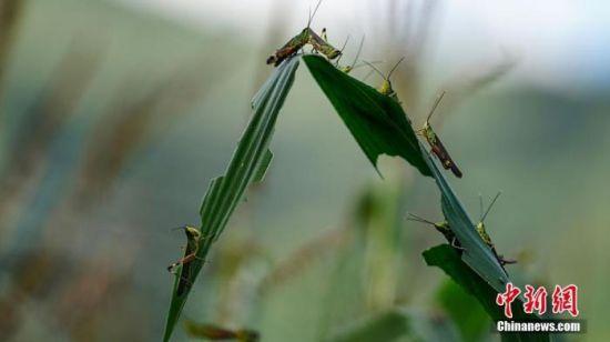 资料图:蝗虫在啃噬玉米叶 中新社记者 康平 摄