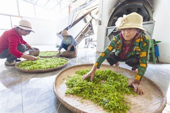 图为鹿苑村村民将刚采摘的茶叶送到合作社加工。远安鹿苑村利用手工制茶这项非遗制作传承文化,带动经济旅游全方位发展。三峡日报全媒记者 付蓓蓓 摄