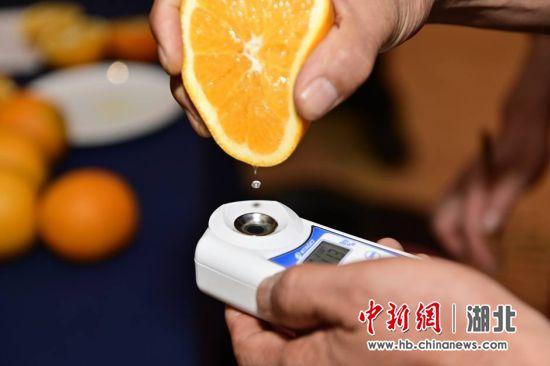 检测枝江脐橙的甜度 刘康 摄
