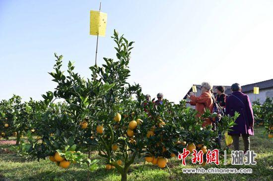 游客在脐橙园体验采摘乐趣 刘康 摄