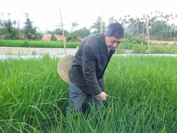 杨代常在察看水稻长势