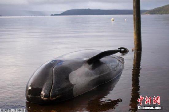 资料图:鲸鱼搁浅。