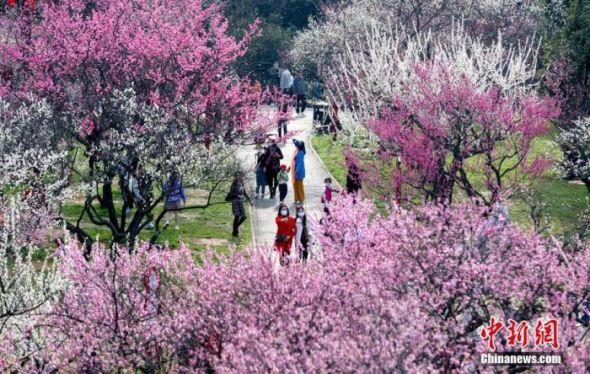 2月17日,武汉东湖梅园内梅花盛开,吸引市民与游客前来赏景休闲。中新社记者 张畅 摄