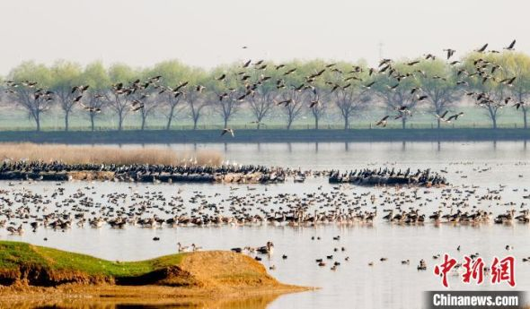 21日,武汉暖阳高照,成群的鸟儿在府河湿地享受春日时光 张畅 摄