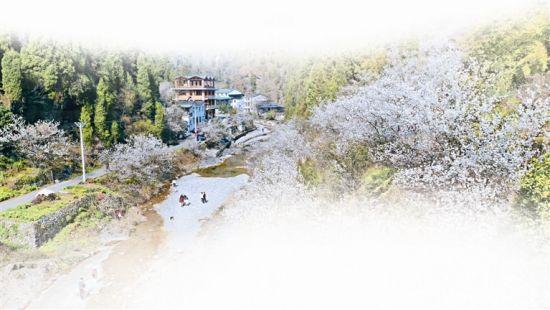 连日来,夷陵区谭家沟村山花烂漫,前来赏樱桃花的市民络绎不绝。 三峡日报全媒记者 吴延陵 摄