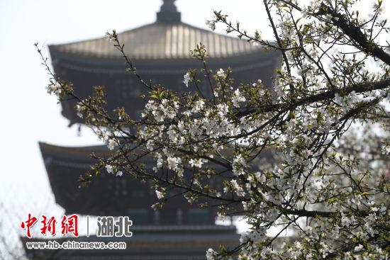 武汉东湖樱花园(资料图) 张畅 摄
